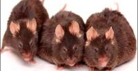 Mice - the most common animal model for human disease research [Photo: news.bbc.co.uk]