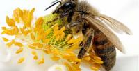 The European honey bee (Apis melliferra) [Photo: wikimedia.org]